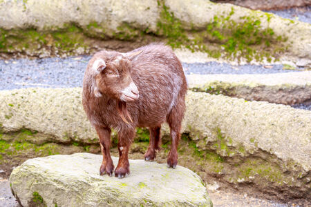pygmy goat: Brown pygmy goat enjoys leisure time