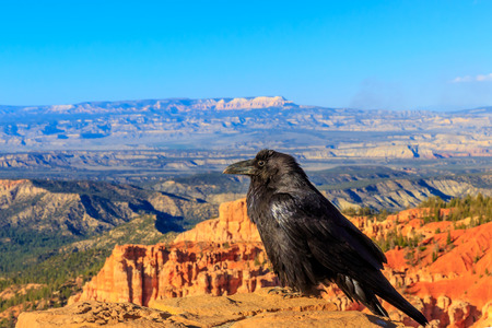 corax: Common Raven (Corvus corax) perched on stone wall at Bryce Canyon National Park