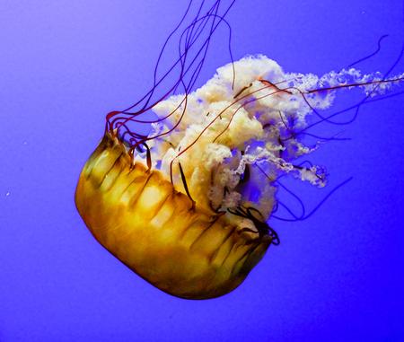 invertebrates: Jellyfish are marine invertebrates belonging to the Scyphozoan class, and in turn the phylum Cnidaria. Stock Photo