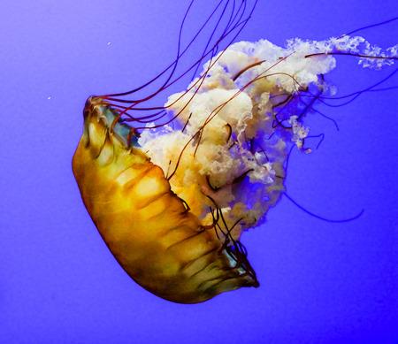 Jellyfish are marine invertebrates belonging to the Scyphozoan class, and in turn the phylum Cnidaria. Zdjęcie Seryjne