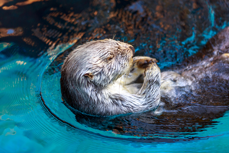 Close up shot of a sea otter. Stock Photo