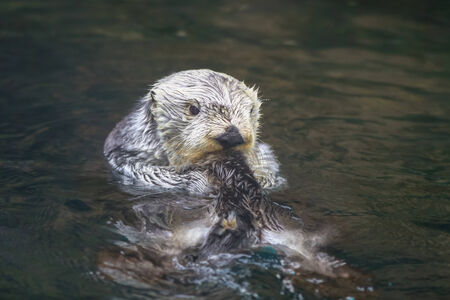 A sea otter enjoys leisure time in water.