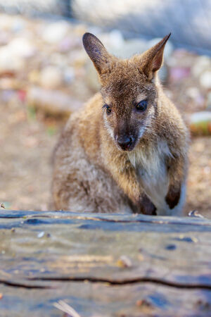 wallaby: Bennetts Wallaby enjoys leisure time Stock Photo