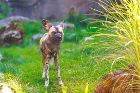 african wild dog: African wild dog standing in alert pose.