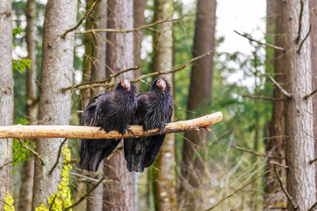 perching: Pair of rescued California Condors perching on the tree branch.