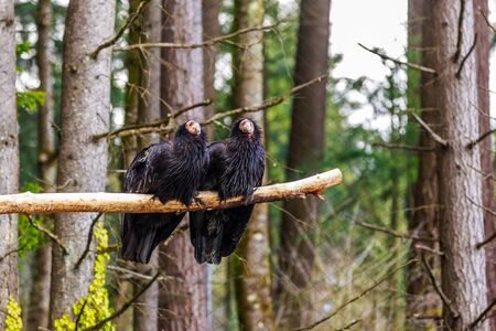 beak vulture: Pair of rescued California Condors perching on the tree branch.