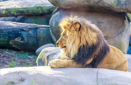 Mighty male lion resting on a rock.