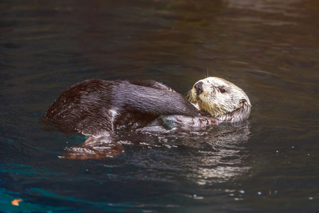 sea otter: A sea otter enjoys leisure time in water.