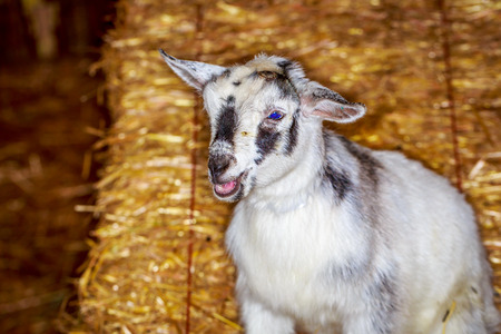 pygmy goat: Closeup shot of a baby dwarf goat in front of haystack