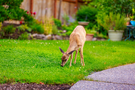 Wild mule deer strides in suburban backyard grazing on the lawn.