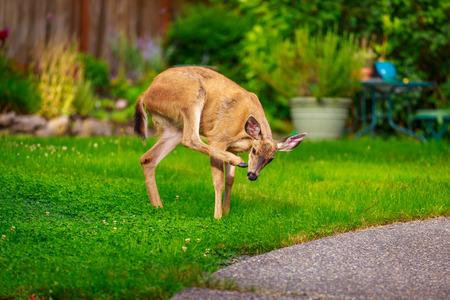 mule: Wild mule deer strides in suburban backyard scratching head with rear hoof. Stock Photo