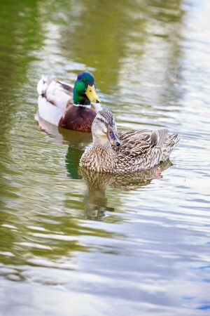 Male and female mallard couple hang out in the lake.