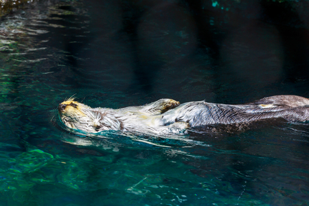 A sea otter swims in water on its back.