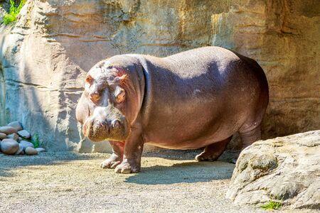 Un hippopotame monte la garde avec un peu d'herbe sur le visage sous le soleil. Banque d'images - 40563805
