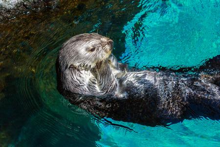 occhi sbarrati: Primo colpo di un mare lontra nuotata all'indietro in acqua occhi spalancati.