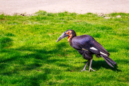 vertebrates: The Southern ground hornbill is a tall longlegged terrestrial bird native to South Africa. Stock Photo