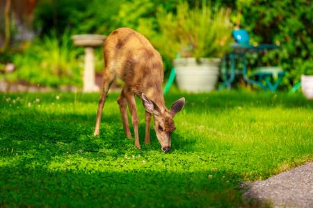 Wild mule deer strides in suburban backyard grazing on the lawn.