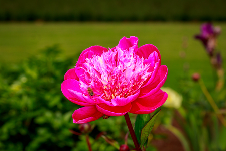 ornamental horticulture: Beautiful peony flower blooms in the garden, with a bee.