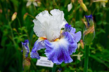 Beautiful bearded iris flower blooming in the garden. Reklamní fotografie