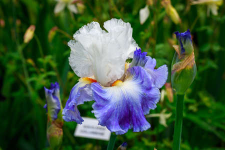 bearded iris: Beautiful bearded iris flower blooming in the garden. Stock Photo