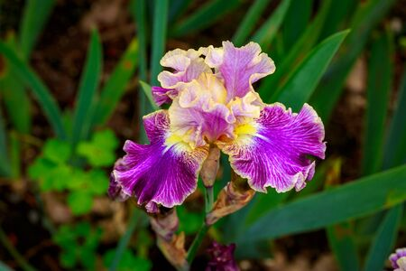 ornamental horticulture: Beautiful bearded iris flower blooming in the garden. Stock Photo