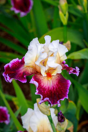 bearded iris: Beautiful bearded iris flower blooming in the garden. Stock Photo