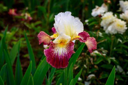 Beautiful bearded iris flower blooming in the garden. Фото со стока - 40564492