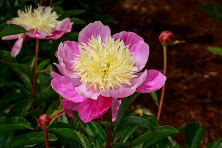 ornamental horticulture: Beautiful peony flower blooms in the garden.