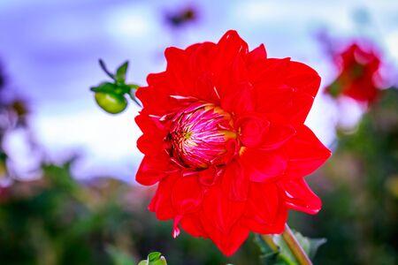 ornamental horticulture: Closeup of dahlia flower in full bloom in the garden.