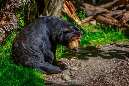 A sun bear (Helarctos malayanus) sits under the sun.