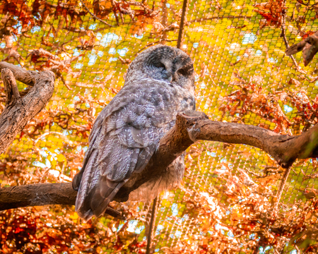 perching: Grey Barred Owl perching on a tree branch.