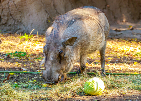 sus: The Visayan warty pig (Sus cebifrons) is a critically endangered species in the pig genus (Sus).