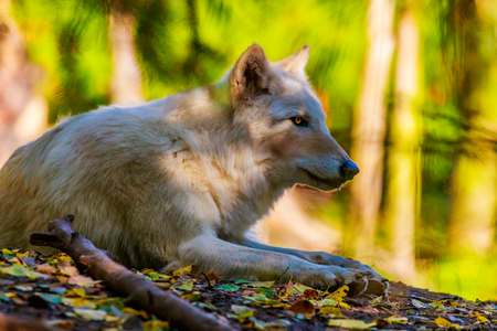 gray wolf: Gray wolf rests in the woods, of Woodland Park Zoo. Stock Photo