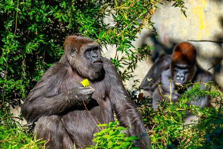 lowland: Two western lowland Gorillas hanging out in the open area.