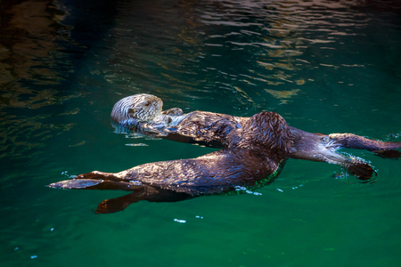 Two southern sea otters float on water, one lying on the others stomach