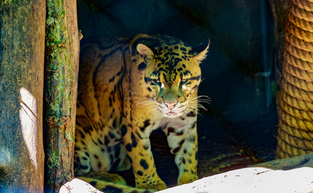 clouded leopard: Clouded leopard rests in the shadow, in National Zoo. Stock Photo