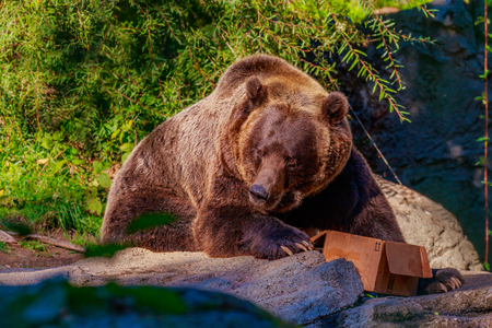 Giant Brown bear feeds from a cardboard box, in Woodland Park Zoo. Reklamní fotografie