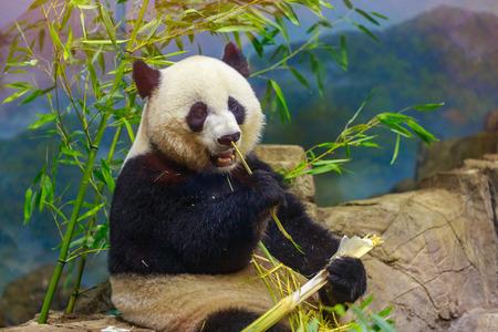 Hungry giant panda bear eating bamboo. Фото со стока