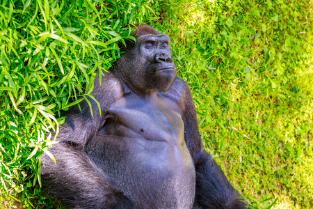 lowland: Western Lowland Gorilla sleeping on the grass, in National Zoo. Stock Photo