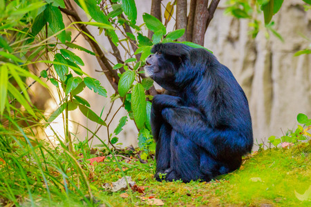siamang: Siamng sits on the ground, with interesting facial expression. Stock Photo