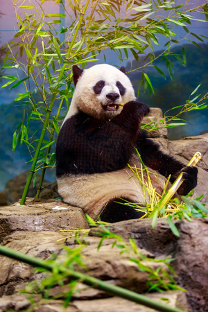 pandabeer: Hungry giant panda bear eating bamboo. Stockfoto