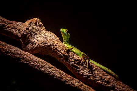 lagartija: Lagarto verde se mantiene alerta en una rama de árbol.