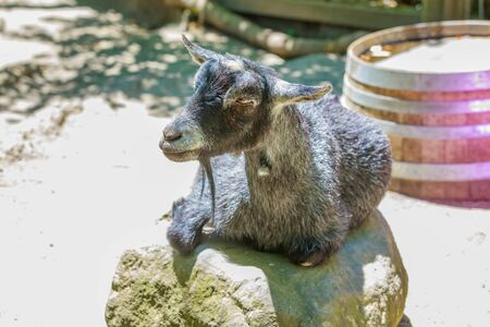pygmy goat: Black pygmy goat rests on a rock.
