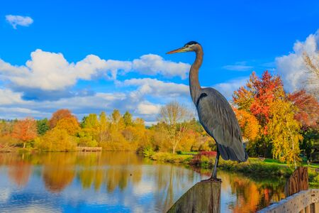 Close up of a great blue heron standing by the lake. Reklamní fotografie