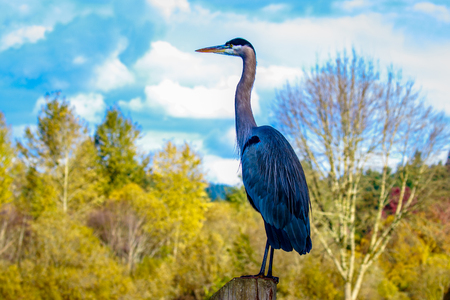 ardeidae: Close up of a great blue heron standing by the lake. Stock Photo