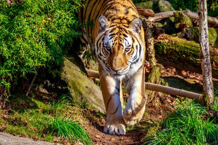 panthera tigris: Close up of Amur Tiger (Panthera tigris altaica).