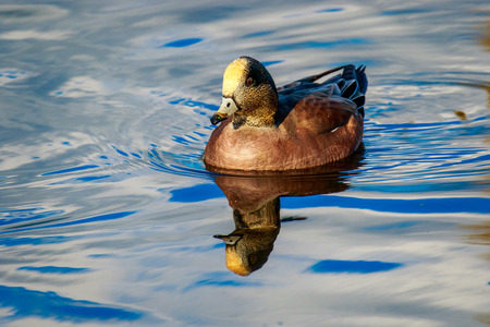 anatidae: Male American wigeon swimming leisurely, with reflection showing in the water.