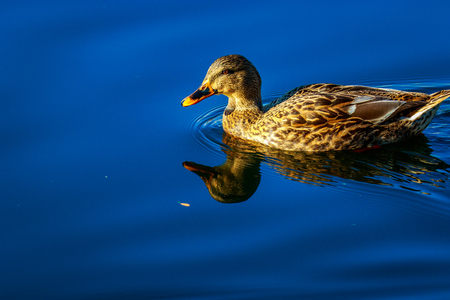 leisurely: Female mallard duck swimming leisurely, with reflection showing in the water. Stock Photo