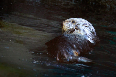 sea otter: Close up of a sea otter playing in the water. Stock Photo
