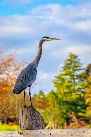 Close up of a great blue heron standing by the lake. Stock Photo